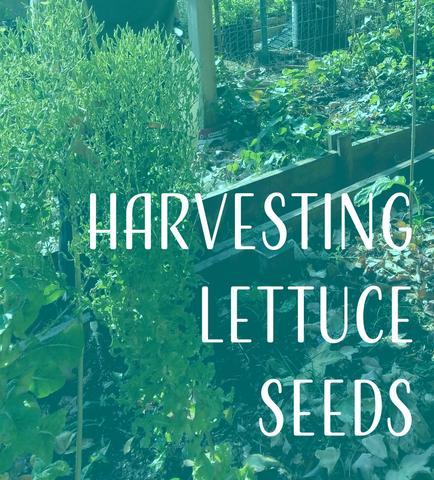 Harvesting Lettuce Seeds